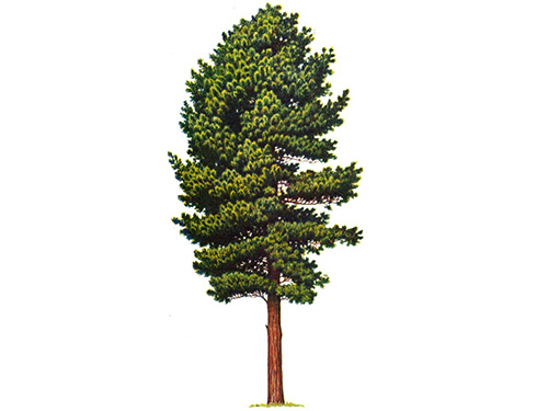 The export of Siberian cedar, Mosanka
